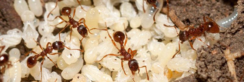 Ameisenbekämpfung in der Region Dresden